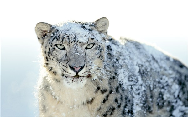 snow-leopard-wallpapers