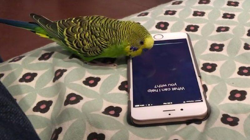 Un periquito que también usa Siri