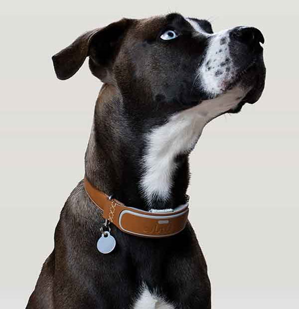 Link AKC, el collar inteligente para tu perro